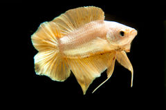 Siamese Fighting Fish. The golden betta fish on the black background Royalty Free Stock Photo