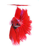 Siamese fighting fish, Half Moon Stock Photos
