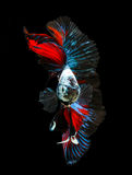 Siamese fighting fish isolated on black background. Stock Photography