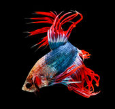 Siamese fighting fish isolated on black background. Royalty Free Stock Photo