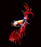 Siamese fighting fish isolated on black background. Royalty Free Stock Photos