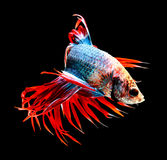 Siamese fighting fish isolated on black background. Stock Photos