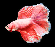 Siamese fighting fish isolated on black background. Royalty Free Stock Photography