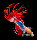 Siamese fighting fish isolated on black background. Royalty Free Stock Images