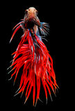 Siamese fighting fish isolated on black background. Royalty Free Stock Image