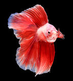 Siamese fighting fish isolated on black background. Stock Images
