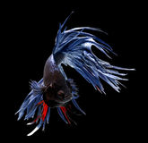 Siamese fighting fish isolated on black background. Stock Image