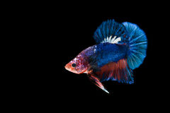 Siamese fighting fish isolated on black background Royalty Free Stock Photo