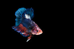 Siamese fighting fish isolated on black background Royalty Free Stock Photography