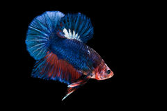 Siamese fighting fish isolated on black background Royalty Free Stock Images