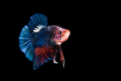 Siamese fighting fish isolated on black background Stock Image