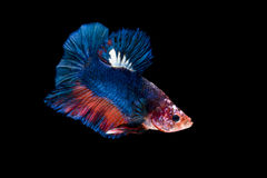 Siamese fighting fish isolated on black background Stock Photos