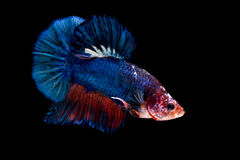 Siamese fighting fish isolated on black background Stock Photo