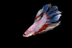 A siamese fighting fish isolated on the black background. A beautiful siamese fighting fish swimming down isolated on the black background royalty free stock photos