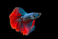 Siamese fighting fish isolated on black background. Betta fish stock image
