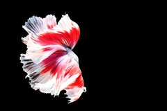 Siamese fighting fish isolated on black background. Fish three color. Betta Fish on black Background. Black isolate. Space for stock image