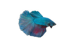 siamese fighting fish Royalty Free Stock Images