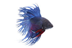 Siamese fighting fish isolated on white background Royalty Free Stock Photo