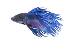 Siamese fighting fish isolated on white background Stock Images