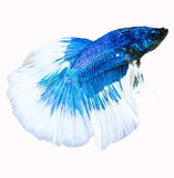 Siamese fighting fish isolated in white background. Betta Splend Stock Photo