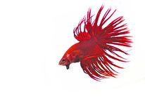 Siamese fighting fish. Isolated on white background Red Halfmoon Stock Images