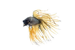 Siamese Fighting Fish isolated on white : Clipping path included. Stock Photo