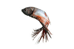 Siamese Fighting Fish isolated on white: Clipping path included. Stock Photography
