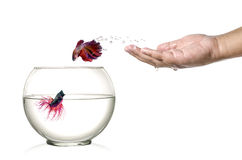 Siamese fighting fish jumping out of fishbowl and into human palm isolated on white. Stock Photo