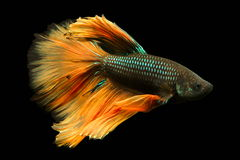 Siamese fighting fish Royalty Free Stock Photography