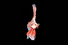Siamese fighting fish, Orange-Blue, betta fish on black backgrou Stock Images