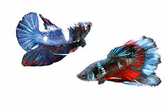Siamese fighting fish. Fighting fish Photography Royalty Free Stock Images