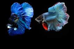 Siamese fighting fish. Fighting fish Photography Stock Photo