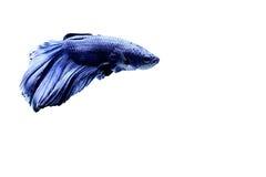 Siamese fighting fish. Fighting fish Photography Stock Image