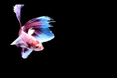 Siamese fighting fish. Fighting fish Photography Stock Photography