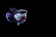 Siamese fighting fish. Fighting fish Photography Stock Images