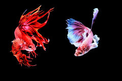 Siamese fighting fish. Fighting fish Photography Stock Image