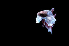 Siamese fighting fish. Fighting fish Photography Royalty Free Stock Photos