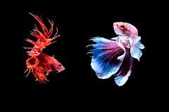 Siamese fighting fish. Fighting fish Photography Stock Photos