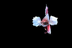 Siamese fighting fish. Fighting fish Photography Royalty Free Stock Photography