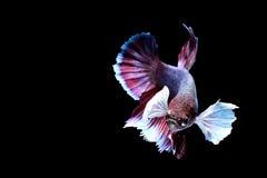 Siamese fighting fish Stock Image