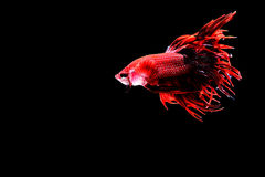Siamese fighting fish. Fighting fish Photography Royalty Free Stock Photo
