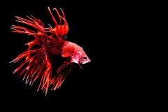Siamese fighting fish. Fighting fish Photography Stock Photos