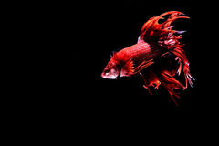 Siamese fighting fish. Fighting fish Photography Royalty Free Stock Image