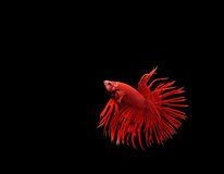 Siamese fighting fish Stock Images