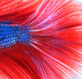 Siamese fighting fish , red and blue betta abstract Stock Image