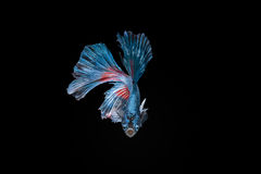 Siamese fighting fish, Red-Blue, betta fish on black background. Royalty Free Stock Photo