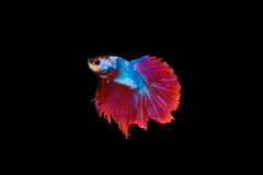 Siamese fighting fish red and blue sky colour , betta isolated o. N black background in top view royalty free stock images