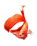 Siamese Fighting Fish. Red Siamese Fighting Fish in Thailand Royalty Free Stock Photos