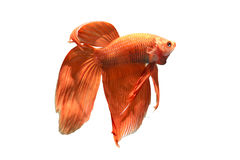 Siamese Fighting Fish. Red Siamese Fighting Fish in Thailand Royalty Free Stock Photography