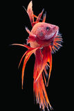 Siamese fighting fish Stock Image
